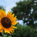 Sunflower in Hanamaki