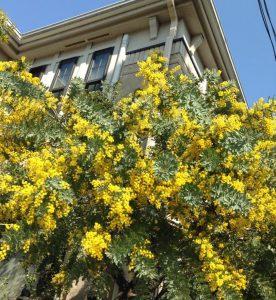mimosa in Shoan