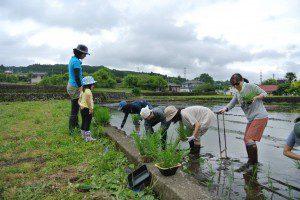 rice planting 2