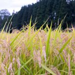 Rice field in Hanamaki