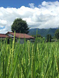 Hotaka rice field
