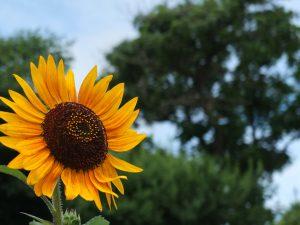 Sunflower in Hanamaki